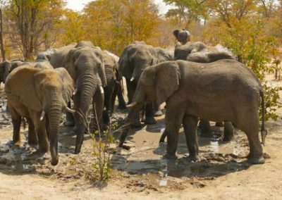 elephant herd at the hide